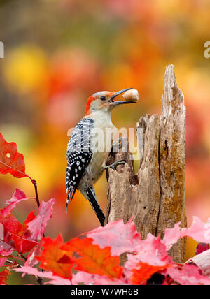 Female Red bellied woodpecker (Melanerpes carolinus) with acorn in beak, New York, USA, October. - Stock Photo