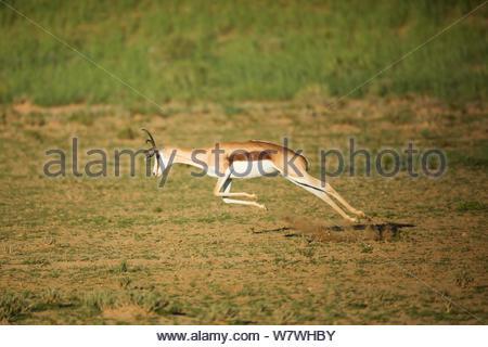 Springbok (Antidorcas marsupialis) pronking, Kgalagadi Transfrontier Park, Northern Cape Province, South Africa, February. - Stock Photo