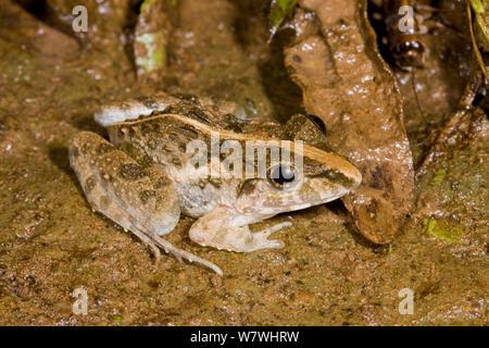 Grass Frog (Fejervarya limnocharis) on ground, Danum Valley, Sabah, Borneo. - Stock Photo