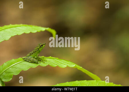 Black-spotted Rock Frog (Staurois natator) on leaf, Danum Valley, Sabah, Borneo. - Stock Photo
