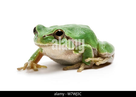 Italian tree frog (Hyla intermedia) on white background, captive from Central Italy - Stock Photo