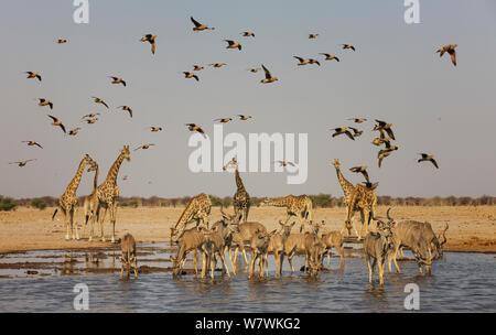 Kudu (Tragelaphus strepsiceros) herd drinking with Giraffes (Giraffa camelopardalis) and Namaqua Sandgrouse (Pterocles namaqua) and Burchell's Sandgrouse (Pterocles burchelli) Etosha National Park, Namibia. - Stock Photo