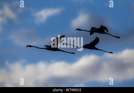 Greater flamingo (Phoenicopterus roseus) three silhouetted in flight, Cape Town, South Africa. - Stock Photo