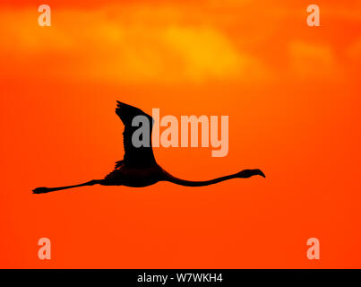 Greater flamingo (Phoenicopterus roseus) in flight, silhouetted at sunset, Cape Town, South Africa, October. - Stock Photo