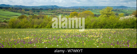 Wildflower meadow with Early purple orchid (Orchis mascula), Green winged orchid (Orchis morio) and Cowslips (Primula veris) in bloom, Hardington Moor NNR, Somerset, England, UK, May 2012. - Stock Photo