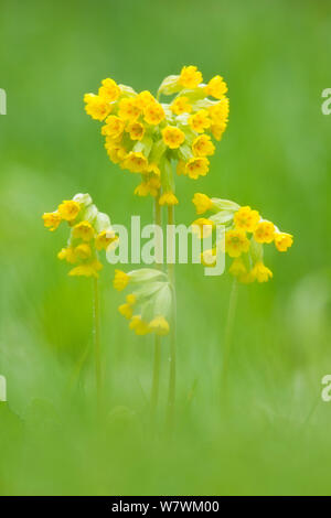 Cowslip (Primula veris) in flower, Hardington Moor NNR, Somerset, England, UK, May. - Stock Photo