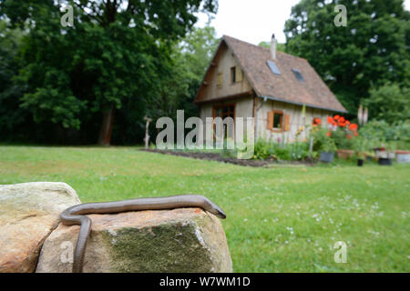 Slow worm (Anguis fragilis) in garden, Alsace, France, May. - Stock Photo