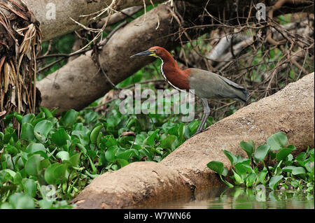 Rufescent Tiger Heron (Tigrisoma lineatum) Pantanal, Mato Grosso State, Western Brazil. - Stock Photo