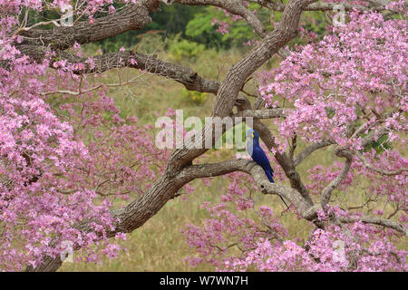 Hyacinth macaw (Anodorhynchus hyacinthinus) in Pink Ipe tree (Tabebuia ipe / Handroanthus impetiginosus) during the blooming season, Pantanal, Mato Grosso State, Western Brazil. - Stock Photo