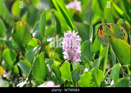 Common Water Hyacinth (Eichhornia crassipes) Pixaim River, Pantanal of Mato Grosso, Mato Grosso State, Western Brazil. - Stock Photo