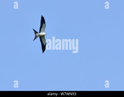 Swallow-tailed Kite (Elanoides forficatus) in flight, Pantanal, Mato Grosso State, Western Brazil. - Stock Photo