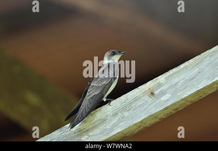 Brown-chested Martin (Progne tapera) nesting inside a abandoned nest of Rufous Hornero (Furnarius rufus) Pantanal, Mato Grosso State, Western Brazil. - Stock Photo