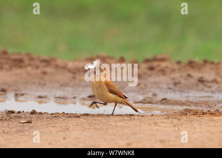 Rufous Hornero (Furnarius rufus) at Pixaim River, Pantanal of Mato Grosso, Mato Grosso State, Western Brazil. - Stock Photo