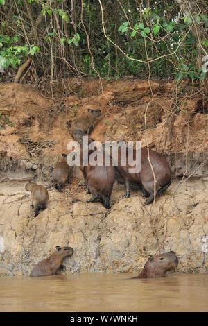 Family of Capybaras (Hydrochoerus hydrochaeris) on river bank of Cuiaba River, Pantanal of Mato Grosso, Mato Grosso State, Western Brazil. - Stock Photo