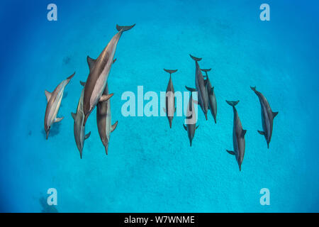Pod of Spinner dolphins (Stenella longirostris) swimming over shallow sandy lagoon in the centre of coral reef. Fury Shoal, Egypt. Red Sea - Stock Photo