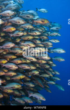 School of large Bohar snappers (Lutjanus bohar) gathered in spawning aggregation off Ras Mohammed, Sinai, Egypt. Red Sea. - Stock Photo