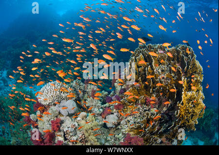 Busy coral reef community feeding on plankton, with Scalefin anthias (Pseudanthias squamipinnis), Soft corals (Dendronephthya sp.) and Fire corals (Millepora dichotoma) Ras Mohammed Marine Park, Sinai, Egypt. Red Sea. - Stock Photo