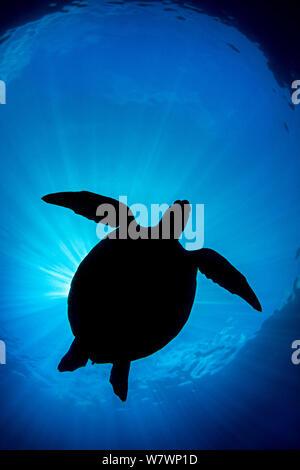 Silhouette of Green sea turtle (Chelonia mydas) Apo Island, Dumaguete, Negros, Philippines. Bohol Sea, Tropical West Pacific Ocean. - Stock Photo