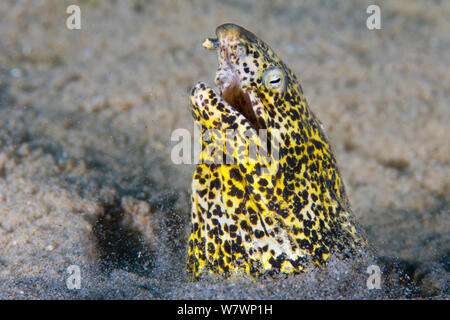 Marbled snake eel (Callechelys marmoratus) thrusts its head out of sand, stiring up the sediment. Nuweiba, Sinai, Egypt. Gulf of Aqaba, Red Sea. - Stock Photo