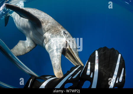 Lone male Bottlenose dolphin (Tursiops truncatus) chewing on diving fins. West Bay, Grand Cayman, Cayman Islands. British West Indies. Caribbean Sea. - Stock Photo