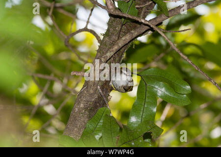 Juvenile Rifleman (Acanthisitta chloris) perched on the side of a tree. Boundary Stream Mainland Island, Hawkes Bay, New Zealand, October. - Stock Photo