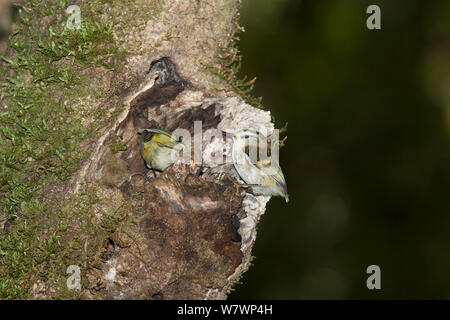 Rifleman (Acanthisitta chloris) pair at the entrance to a nest. The female is on the right and is considerably duller than the male, which is partly inside the entrance. Boundary Stream Mainland Island, Hawkes Bay, New Zealand, October. - Stock Photo