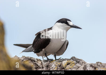 Adult Sooty tern (Onychoprion fuscatus) in breeding plumage, perched near the breeding colony. Meyer Islets, Kermadec Islands, New Zealand, November. - Stock Photo