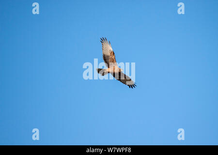 Juvenile Swamp harrier (Circus approximans) flying against a blue sky. Westshore Lagoons, Hawkes Bay, New Zealand, September. - Stock Photo