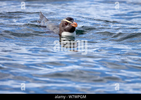 Fiordland crested penguin (Eudyptes pachyrhynchus) swimming at sea. Off Stewart Island, New Zealand, December. Vulnerable species. - Stock Photo