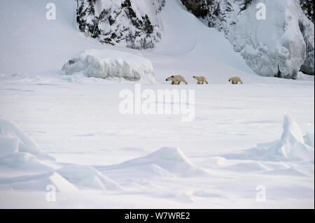Polar bear (Ursus maritimus) mother with cubs walking through snow, Wrangel Island, Far Eastern Russia, March. - Stock Photo