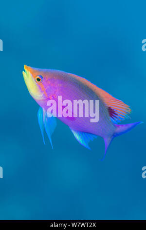 Portrait of male Purple anthias (Pseudanthias tuka) on coral reef. South Atoll, Tubbataha Atolls, Tubbataha Reefs Natural Park, Palawan, Philippines. Sulu Sea. - Stock Photo
