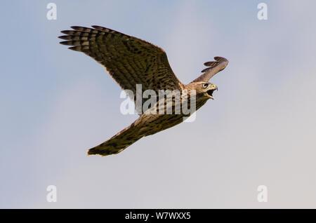 Fledgling Northern goshawk (Accipiter gentilis) in flight. Berlin, Germany. July. - Stock Photo