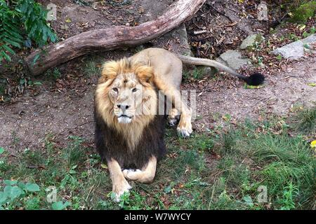 World Lion Day is 10 August 2019 Zoo's Asiatic Lions mark World lion Day . ZSL London Zoo's big cats given giant seesaw to celebrate World Lion Day 2019 . London Zoo ,London UK - Stock Photo