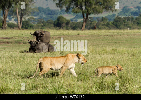 Lion (Panthera leo) mother and cub walking in front of African Buffalo (Syncerus caffer), Masai Mara Game Reserve, Kenya - Stock Photo