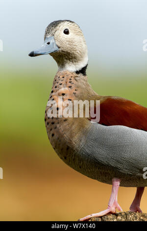 Ringed Teal (Callonetta leucophrys) portrait, captive at zoo. Occurs in South America. - Stock Photo