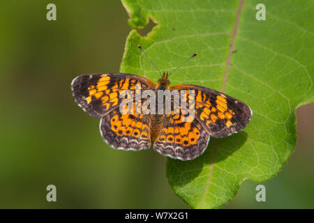 Pearl Crescent (Phyciodes tharos) Sabine Natiional Forest, Hemphill, Sabine County, Texas, USA. - Stock Photo