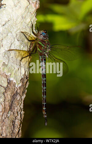 Swamp Darner (Epiaeschna heros) female, Pitcher Plant Bog, Big Thicket National Preserve, near Warren, Tyler County, Texas, USA. - Stock Photo