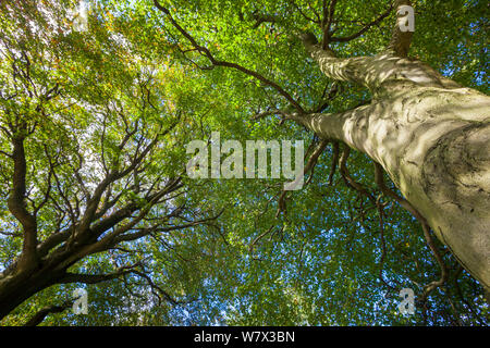 Looking up through a Beech wood canopy (Fagus sylvatica) in summer, Peak District National Park, Derbyshire, UK. August. - Stock Photo