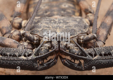Tanzanian Giant Tailless Whipscorpion (Damon variegatus). Captive, occurs in Kenya and Tanzania. - Stock Photo