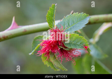 Pin Cushion Gall caused by Gall wasp (Diplolepis rosae) on wild Dog Rose (Rosa canina), Peak District National Park, Derbyshire, UK. August. - Stock Photo