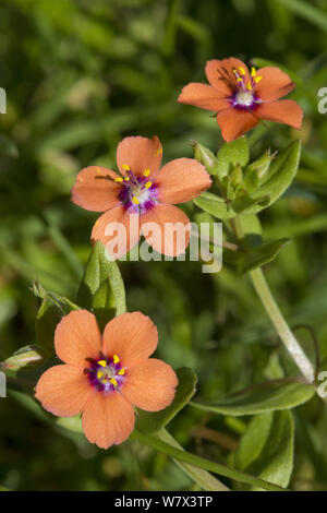 Scarlet Pimpernel (Anagallis arvensis) Devon, UK. June. - Stock Photo