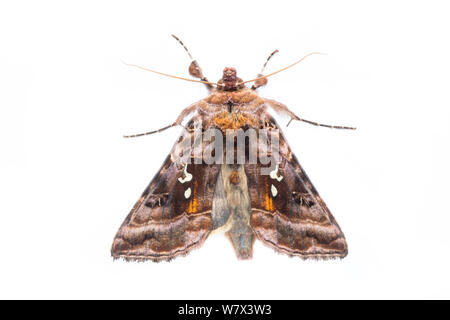 Beautiful Golden Y (Autographa pulchrina) moth on a white background in mobile field studio. Peak District National Park, Derbyshire, UK. June. - Stock Photo