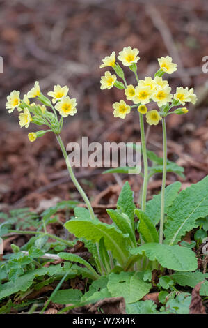 False Oxlip (Primula vulgaris x veris) flowers, Peak District National Park, Derbyshire, UK. April. - Stock Photo