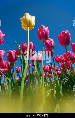 Tulips (Tulipa sp.) in flower, Swaffham, Norfolk, UK, April. - Stock Photo