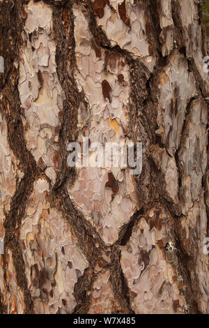 Ancient black pine (Pinus nigra) trunk, Troodhos National Park, Cyprus, May. - Stock Photo