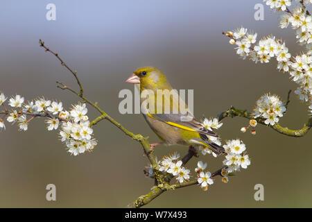 Greenfinch (Carduelis chloris) on blackthorn blossom. Norfolk, UK, April. - Stock Photo