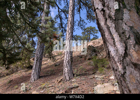 Ancient black pines (Pinus nigra), Troodos National Park, Cyprus, May. - Stock Photo