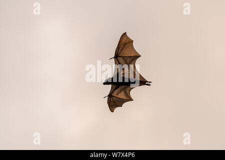 Little red flying-fox (Pteropus scapulatus) in flight, Wild River, Heberton, Australia. - Stock Photo