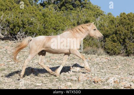 Wild Mustang horse running, Pryor Mountains, Montana, USA. - Stock Photo