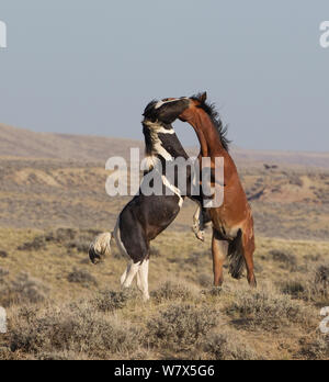 Wild Mustang horses fighting, McCullough Peaks Herd Area, Wyoming, USA., young stallions play - Stock Photo